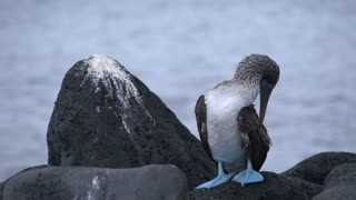 Blue footed booby at the rocks in San Cristobal, Galapagos Islands, EcuadorGalapagos Islands, Ecuador