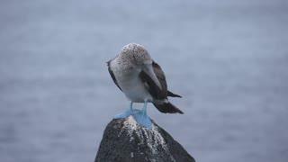 Blue footed booby jumping at the rocks in San Cristobal, Galapagos Islands, EcuadorGalapagos Islands, Ecuador