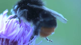Bumblebee extreme close up eating nectar from a pink flower and flying away made by 2 shots