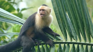 Capuchin monkey hanging in a tree and looking for food in the forest of Montezuma Costa Rica