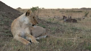Lioness resting on the savanna