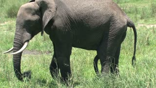 African Elephant grazing on the grassland