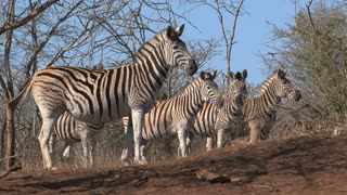 Herd of Zebras grazing on the savanna