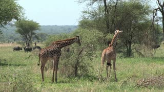 Mother Giraffe and foal grazing on the grassland