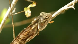 Close up from a Indian chameleon on a branch in sri lanka