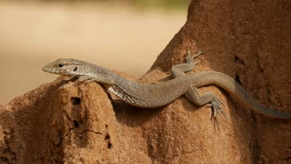 Close up from a Lizard warming up in the sun at a rock in Sri Lanka