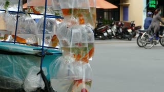 Close up from Gold fish in a plastic bags on the back of a motorbike in the streets of Hoi An Vietnam
