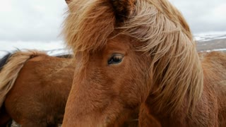 Close up from two Icelandic horses in cold windy weather