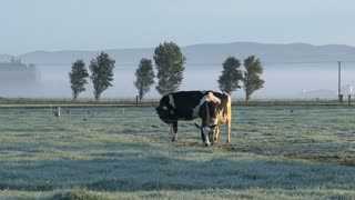 Cows in the moring fog, Southern Island, New Zealand,