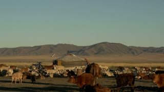 Cows, sheep and goats in front of a Yurt (Ger) from a Mongolian Nomads family