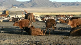 Cows tied together, sheep and goats in front of a Yurt (Ger) from a Mongolian Nomads family in the morning
