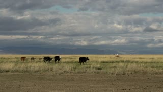 Cows walking in a mongolian landscape