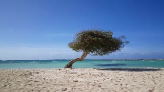 Divi divi tree at Baby beach on Aruba