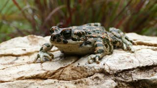 European green toad on a rock in Greece