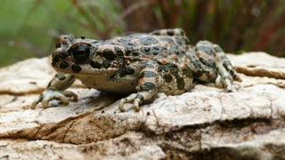 European green toad on a rock in Greece