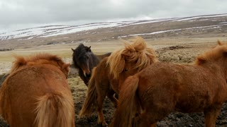 Fighting Icelandic horses in cold windy weather