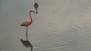 Flamingos walking around in the morning at Isabela, Galapagos Islands, Ecuador