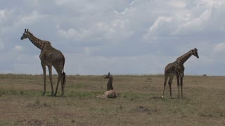 Giraffe mother and calves grazing and resting on the savanna