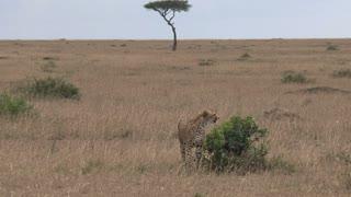 Pair of Cheetahs on the savanna