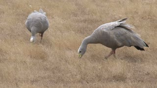 Goose at Kangaroo island, Australia