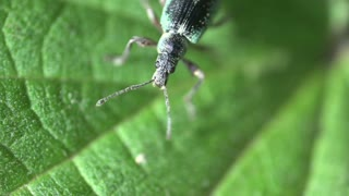 Green Immigrant Leaf Weevil on a green leaf