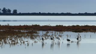 Group flamingos walking around the wetlands in Ethniko Parko Limnothalasson Greece