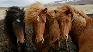 Group Icelandic horses close together in the cold windy weather