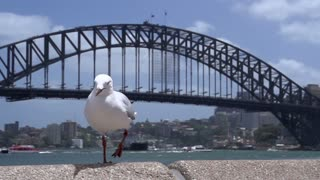 Gull flying in slow motion behind an other gull with the harbour bridge at the background