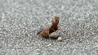 Hermit crab walking around at the beach in Montezuma Costa Rica