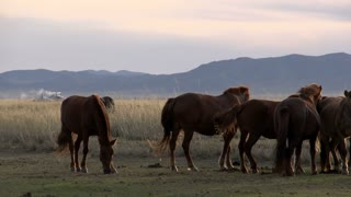 Horses with a yurts (gers) at the background in the evening