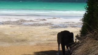 Kangaroo and baby kangaroo jumping on the beach in Cape Le Grand National Park