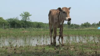 Little cow eating grass in India countryside