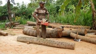 Man with chain saw cutting a palm tree in Sri Lanka