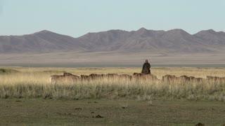 Mongolian Nomad herding horses