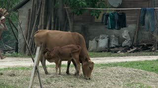 Mother and baby cow with lady walking and girl cycling at the background