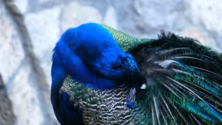 Peacock cleaning his feathers in Saint Naum Macedonia