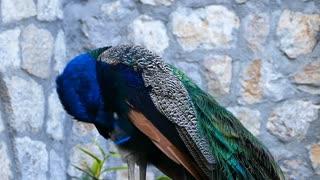 Peacock looking around in Saint Naum Macedonia