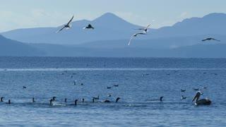 Pelican swimming in between a group of cormorants at a lake in National Park of amvrakikos wetlands Greece