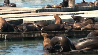 Pier 39 with sea lions in the morning close up fighting for a spot