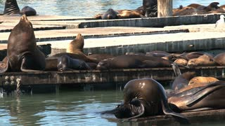 Pier 39 with sea lions in the morning close up