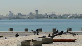 Pigeons at the Corniche Promenade with an arabic man passing by in Doha Qatar
