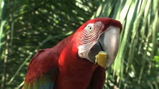 Red-and-green Macaw,Amazon