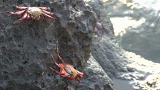 Red Rock Crabs at the rocks at the Galapagos Islands, Ecuador