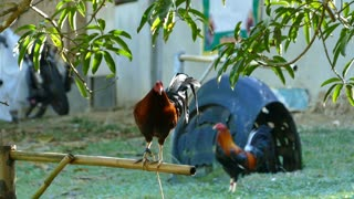 Rooster crowing at a cock fighting farm in the Philippines