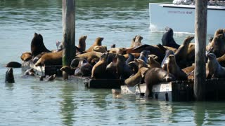 Sea lions on Pier 39 with Sail boat Adventure Cat at the background