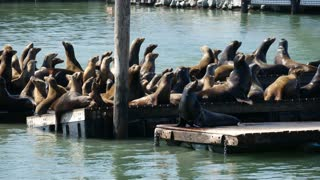 Sea lions very active on Pier 39
