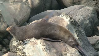 Seal sleeping in  New Zealand