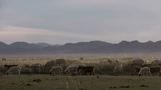 Sheep and goats walking by in a Mongolian landscape