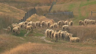 Sheeps at the Catlins in New Zealand