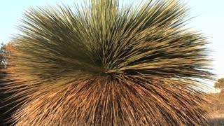 Spiky tree in the wind